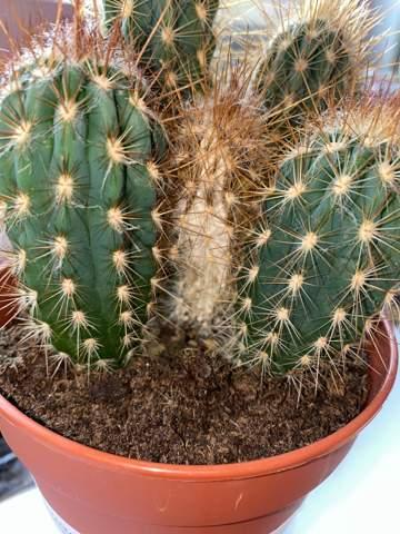 Kaktus färbt sich weiß?