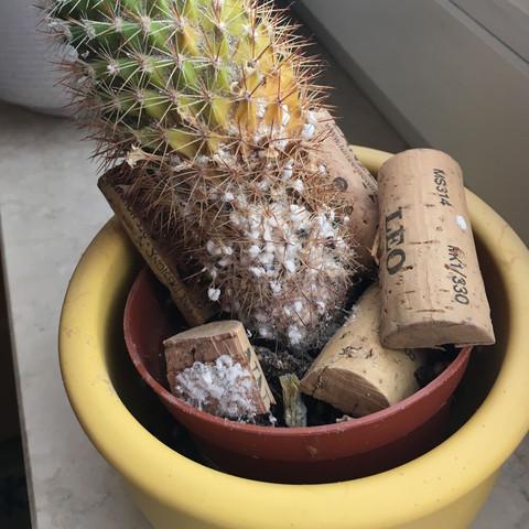 kaktus kaputt noch m glich ihn zu retten wei faul milben. Black Bedroom Furniture Sets. Home Design Ideas