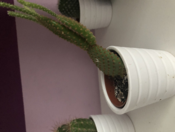 - (Pflanzenpflege, kaktus)