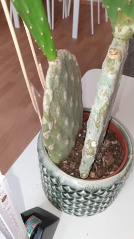 Kaktus wächst nur in die Höhe und wird unten weich und hell?