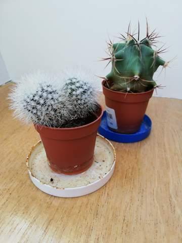 Kaktus wiederbeleben?