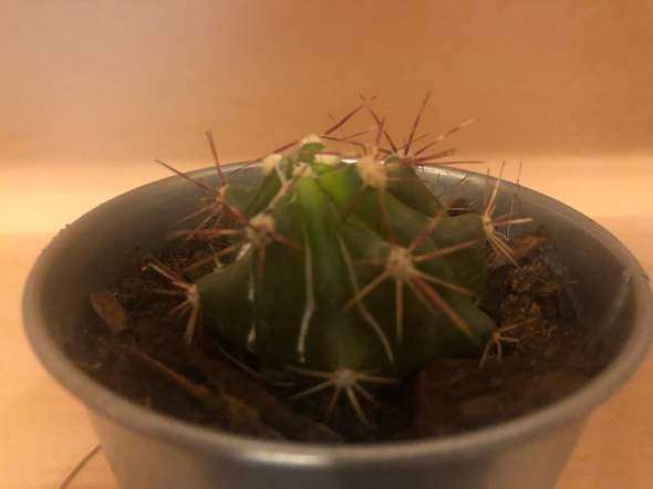 Kaktus zu viel Wasser oder zu wenig?