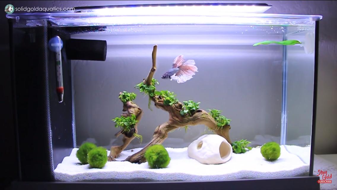 Kampffisch aquarium for Kampffisch aquarium