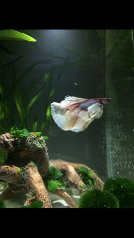 Maylo  - (Kampffisch, BettaSplendens)
