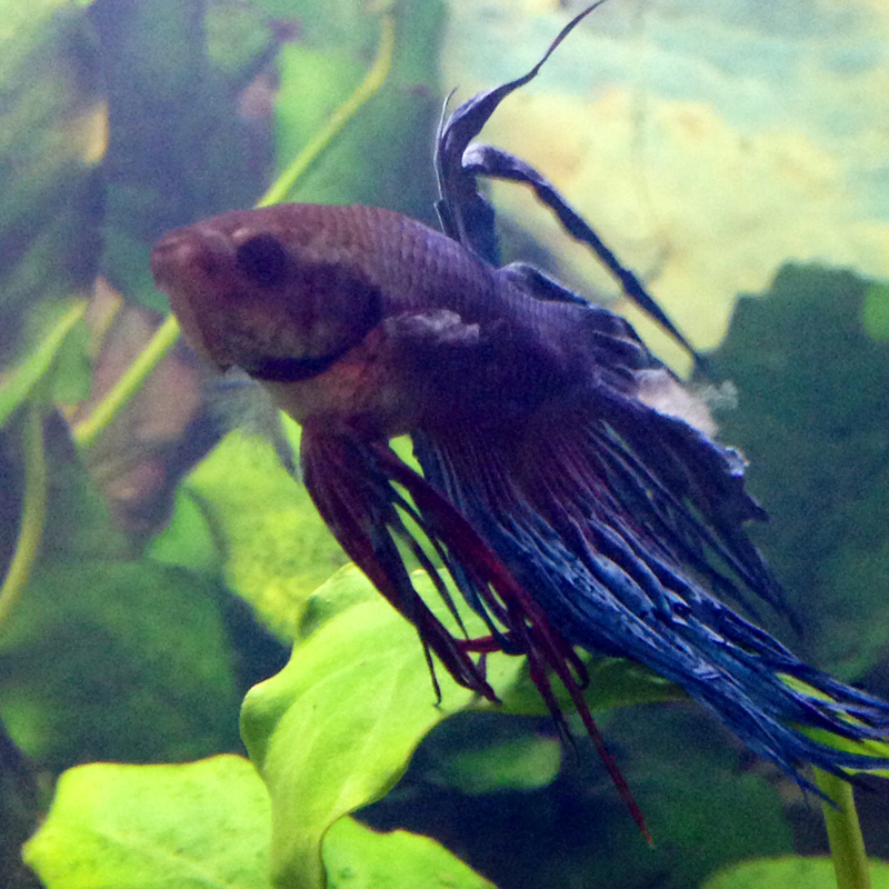 Kampffisch betta splendens hat verpilzte stelle an der for Kampffisch aquarium