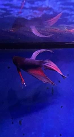 Kampffisch Flossen sehen ausgefranst aus?