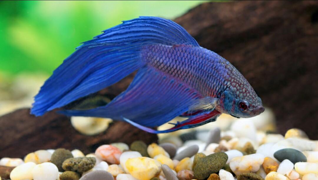 kampffisch halten im aquarium was brauchen kampffische mit welchen fischarten kann man. Black Bedroom Furniture Sets. Home Design Ideas