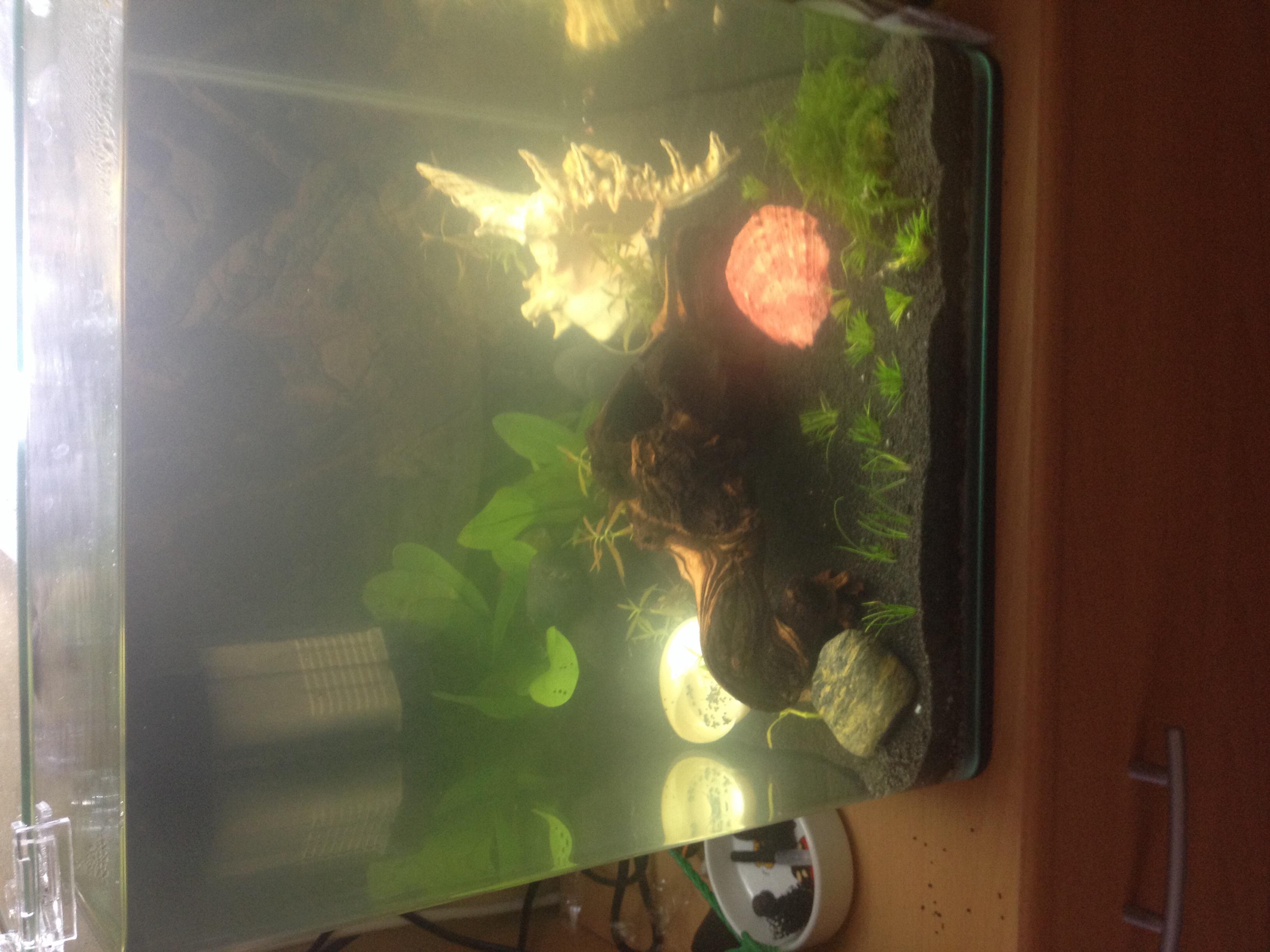 Kampffisch und garnelen und ohrgittersaugwelse tiere for Kampffisch aquarium