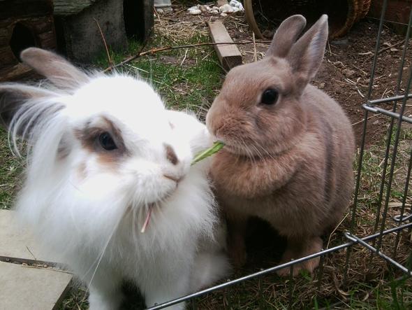 Kaninchen Haben Dunkel Orangenen Kot Ernährung