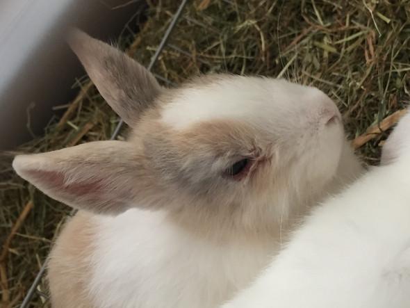 Kaninchen hat Kruste unter dem Auge?