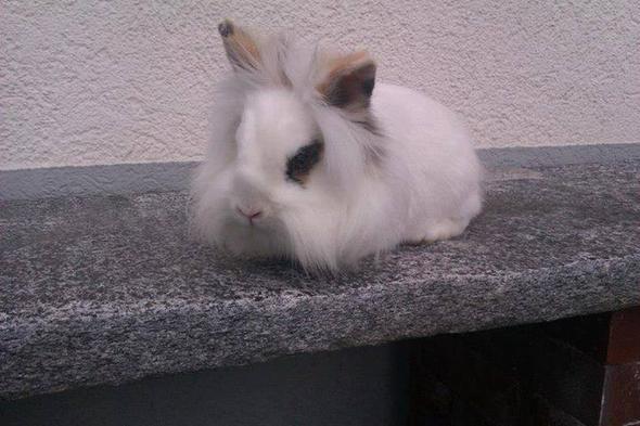 kaninchen - (Tiere, Kaninchen)