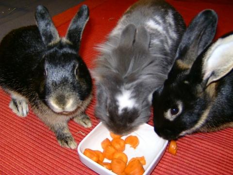 Links: kl. Weibchen, Mitte: Männchen, Rechts: gr. Weibchen - (Kaninchen, Zwergkaninchen, Kaninchen Streit)