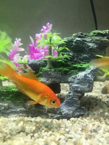 Kann ein Goldfisch einen Schwanz unterm Bauch haben?