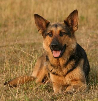 Beispiel Hund A - (Hund, Ohr, Hunderassen)