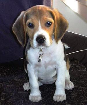 Beispiel Hund B - (Hund, Ohr, Hunderassen)