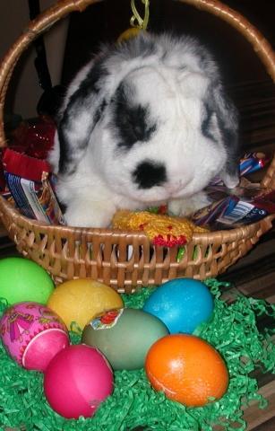 Das ist Honey an Ostern 09 - (Tiere, Kaninchen, Zwergkaninchen)