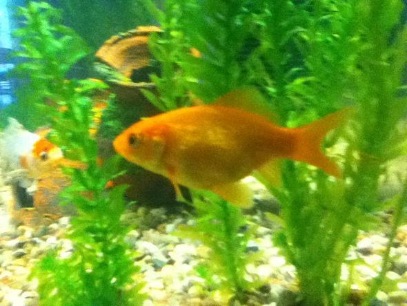 das ist er - (Fische, Gold)