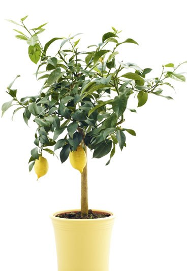 kann ich einen zitronenbaum am leben halten auch ohne wintergarten wohnung baum fr chte. Black Bedroom Furniture Sets. Home Design Ideas