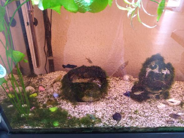 Kann ich meine mollys Babys in mein Aquarium reinmachen?