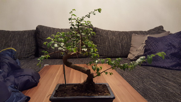 kann ich meinem bonsai chinesische ulme auch im winter. Black Bedroom Furniture Sets. Home Design Ideas
