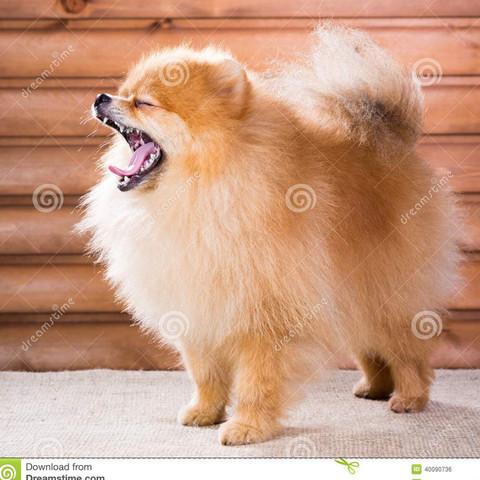 Pomeranian,Zwergspitz - (Tiere, Hund, Futter)