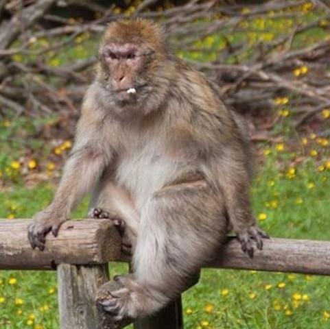 Vergaffe  - (Tiere, Foto, Affen)
