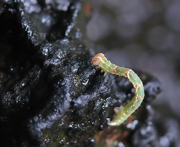 Kann jemand diese winzige Raupe bestimmen?