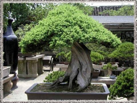 kann man bonsai b ume ans en pflanzen samen. Black Bedroom Furniture Sets. Home Design Ideas