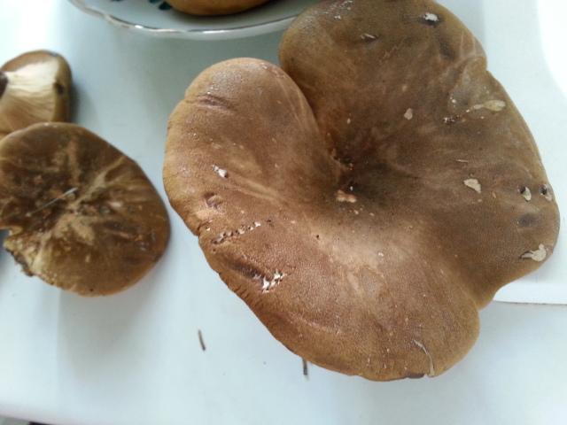kann man das essen sind diese pilze giftig wie hei en. Black Bedroom Furniture Sets. Home Design Ideas