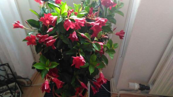 Blhme - (Pflanzen, Blumen, Zimmerpflanzen)