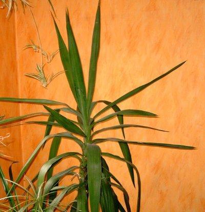 kann man die spitze von dieser palme kappen pflanzen. Black Bedroom Furniture Sets. Home Design Ideas