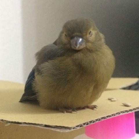 kann man ein gimpel vogel zuhause behalten also als haustier liebe tiere haustiere. Black Bedroom Furniture Sets. Home Design Ideas