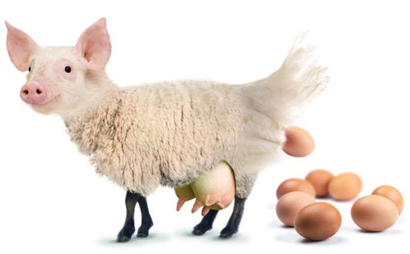 Kann man eine Eierlegende Wollmilchsau biologisch gesehen züchten?