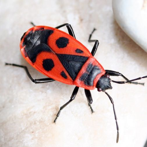 kann man feuerwanzen halten haustiere insekten haltung. Black Bedroom Furniture Sets. Home Design Ideas