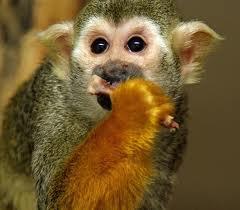 Kann Man Irgend Eine Affenart Zuhause Halten Tiere Haustiere