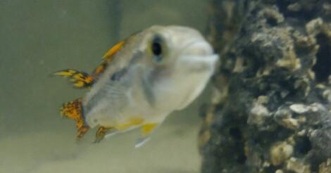 der kakadu  - (Aquarium, Aquaristik, Garnelen)