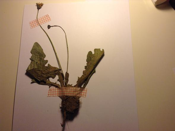 Ich weiß den namen dieser pflanze nicht... - (Bio, Herbarium)