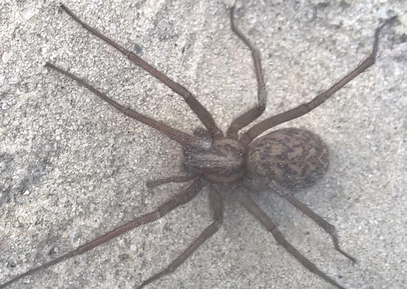 1111 - (Spinne, Spider)