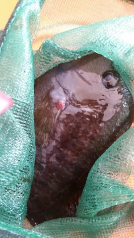 Roter Punkt an der Seitenflosse - (Krankheit, Fische)