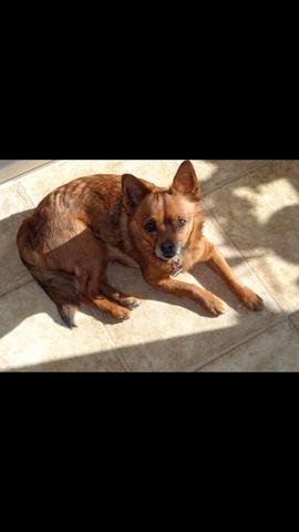 Hund - (Hund, braun, klein)