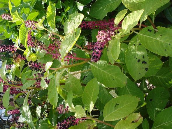 helles grün bei den Blättern - (Botanik, sträucher)