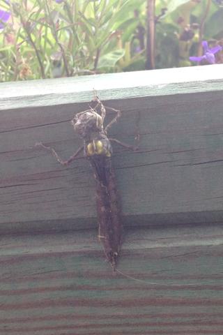 Kann mir jemand dieses Insekt bestimmen?