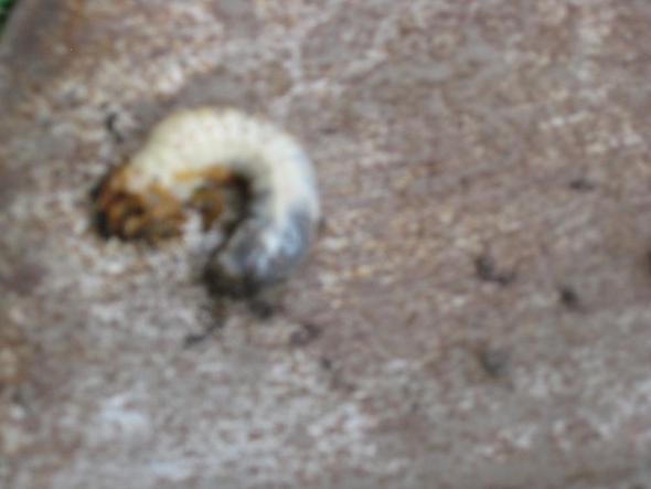 Raupe 1 - (Garten, Insekten, fauna)