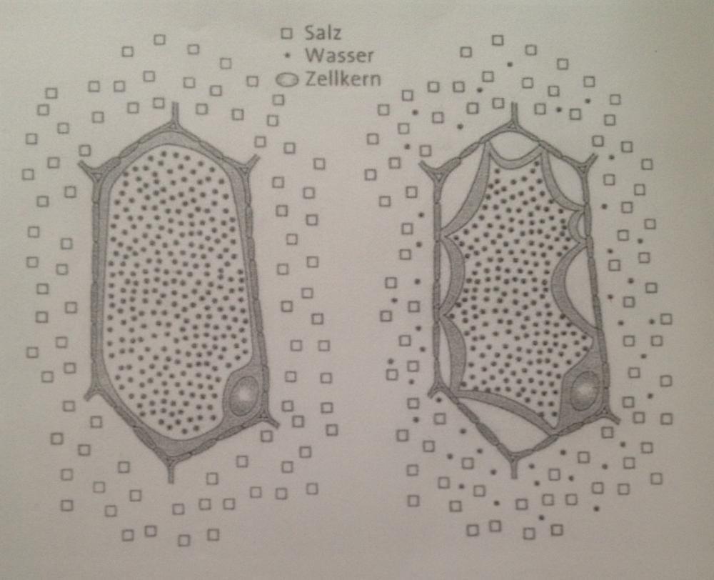 Kann mir jemand Diffusion (Biologie-Plasmolyse) anhand dieser Abbildung erklu00e4ren? (Zellmembran)