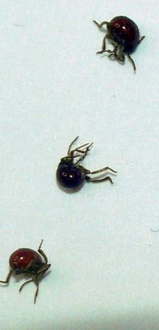 Sehen aus wie kleine Käfer - (Insekten, Bestimmung)
