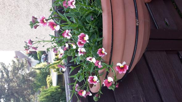 Pflanze  - (Garten, Blumen)