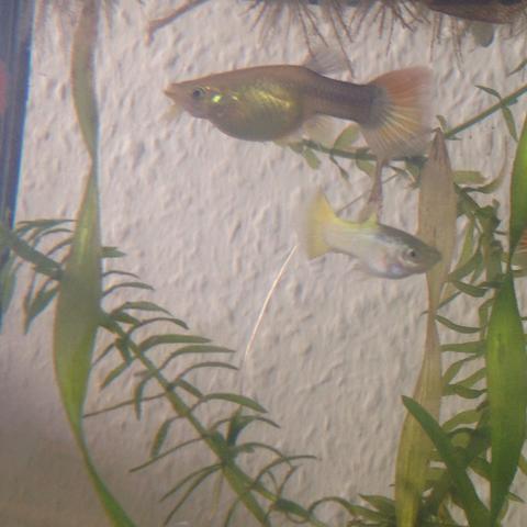 das Guppyweibchen - (schwanger, Fische, Aquarium)
