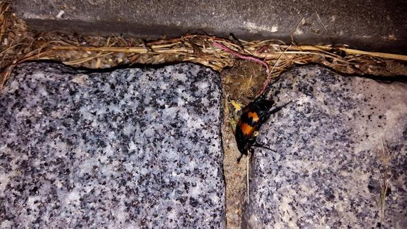 Käfer Bild 2/2 - (Tiere, Garten, Insekten)