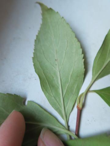 blatt2 - (Biologie, Pflanzen, Baum)