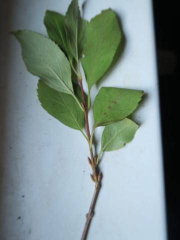 blatt4 - (Biologie, Pflanzen, Baum)